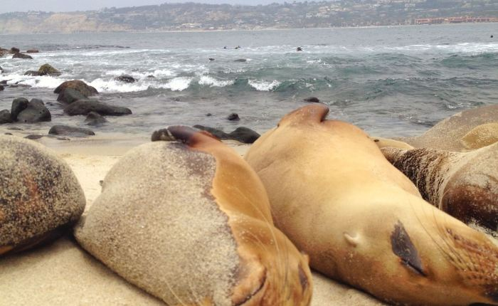 Sea Lions and Blown Eardrums
